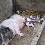 Triệu chứng nhận biết lợn nái mất sữa khi nuôi con của chúng