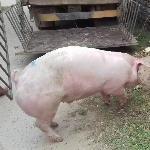 kỹ thuật nuôi lợn siêu nạc kinh tế cao
