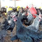 Kỹ thuật phòng bệnh và chăm sóc gà đẻ