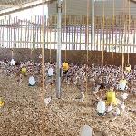 Mô hình Hợp tác xã - Giải pháp nâng cao giá trị và hiệu quả chăn nuôi