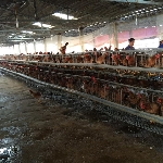 Tại sao gà đẻ nuôi nhốt trong lồng thường mệt mỏi, còi xương?