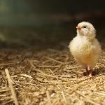 Các tiêu chuẩn môi trường trong chăn nuôi gà