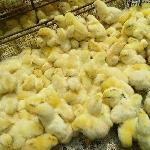 Cách chọn gà con đẹp, khỏe và những lưu ý khi vận chuyển gà.