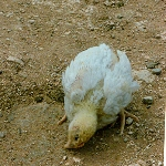 Bệnh Leucosis trên gà