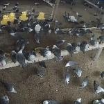 Dinh dưỡng cho gà Ai Cập giai đoạn hậu bị