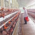 Dinh dưỡng khoáng trong chăn nuôi gia cầm