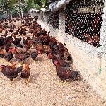 Mô hình và kỹ thuật chăn nuôi gà ta lai nòi