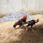 Một số bệnh thường gặp ở gà chọi