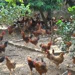 Chăn nuôi gà thả vườn hiệu quả