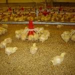 Mô hình chăn nuôi gà ta đạt hiệu quả cao