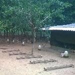 Mô hình trang trại nuôi gà thả vườn đạt hiệu quả cao