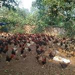 Quy trình chăn nuôi gà thả vườn đạt hiệu quả cao