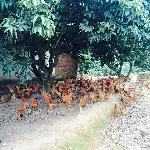 Mô hình chăn nuôi gà sạch