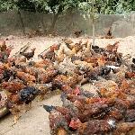 Chăn nuôi gà sạch ở triệu phong