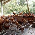 Một số bệnh và cách phòng trị thường gặp phổ biến nhất khi nuôi gà thả vườn.