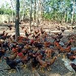 Chăn nuôi gà ta thả vườn đạt hiệu quả cao