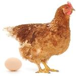 Nguyên nhân gà ngừng đẻ