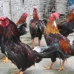 Phương pháp lai tạo gà giống