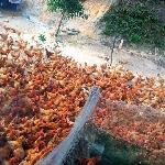 Những lưu ý trong chăn nuôi gà thả vườn