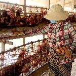 Kingh nghiệm chăn nuôi gà đẻ hậu bị hiệu quả