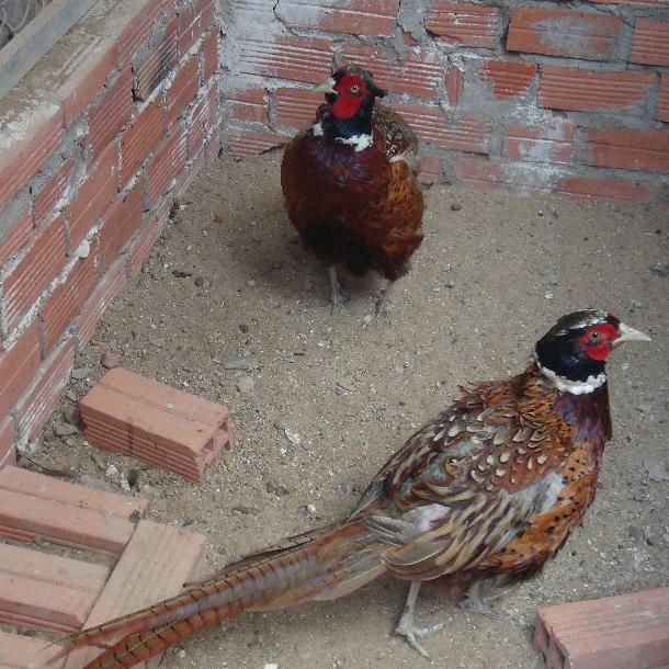 Chim trĩ đỏ