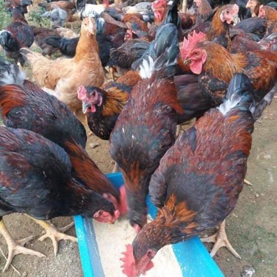 Cung cấp con giống gà chọi lai ( gà lai chọi )