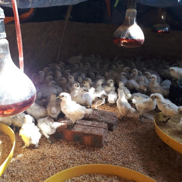 Phòng bệnh cho gà ác