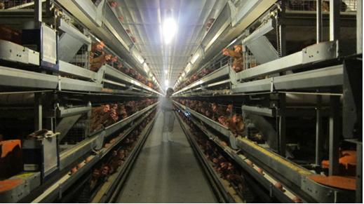 Kỹ thuật chăn nuôi gà hướng thịt