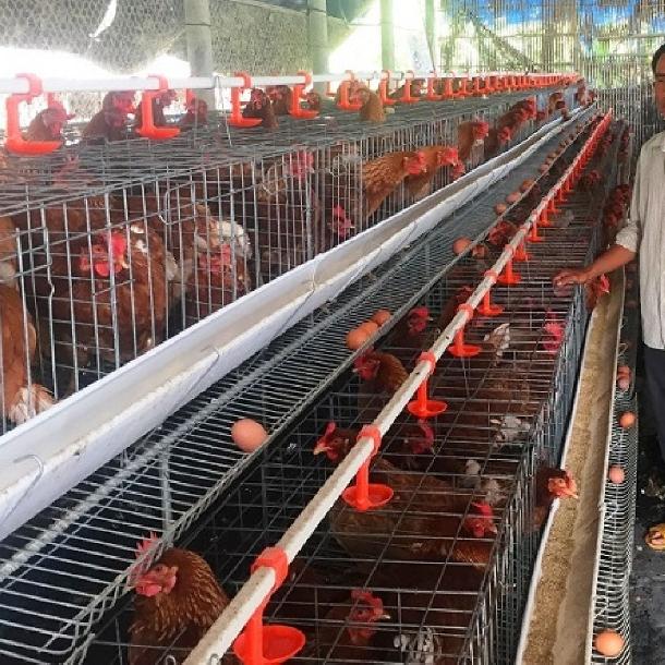 Kỹ thuật chăn nuôi gà đẻ trứng