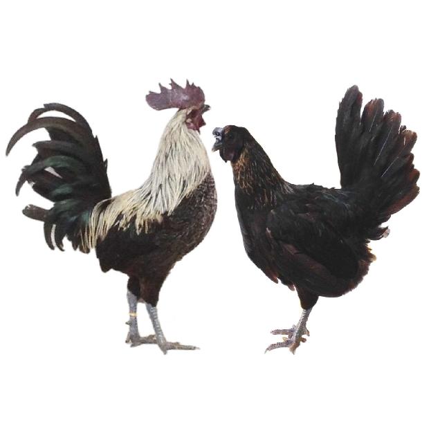 Kỹ thuật chăn nuôi gà đặc sản