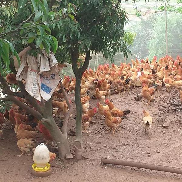 Kỹ thuật chăn nuôi gà ta