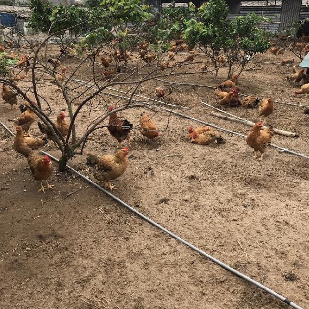 Kỹ thuật nuôi gà lương phượng