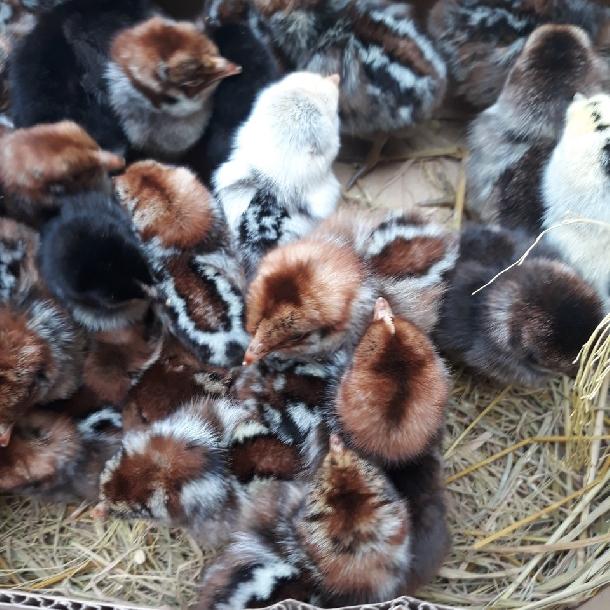 Gà ai cập ( gà siêu trứng )