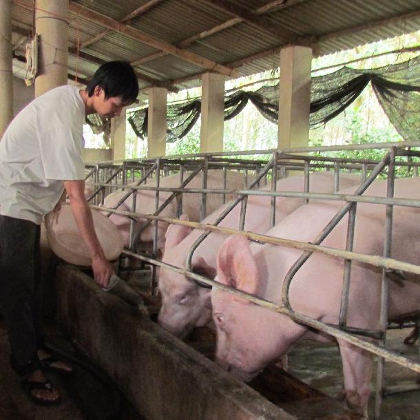 Sản xuất thức ăn tự chế cho lợn đạt hiệu quả cao