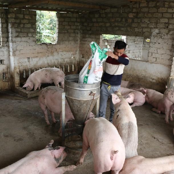 Các dạng thức ăn thường dùng cho lợn