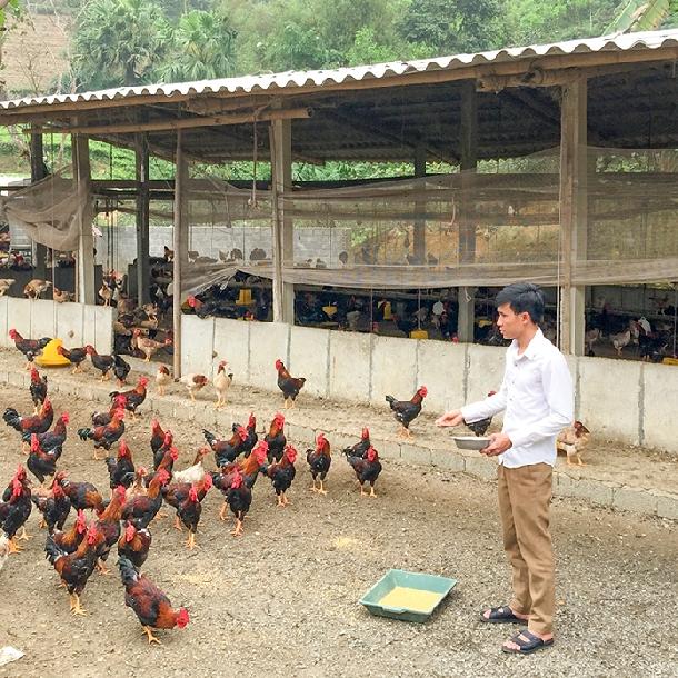 Các yếu tố ảnh hưởng đến tiêu thụ thức ăn trong chăn nuôi gà