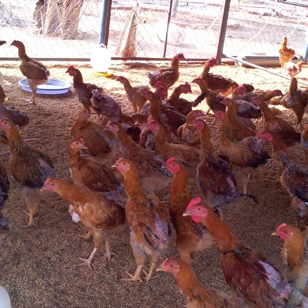Thức ăn chăn nuôi gà sinh sản hướng thịt
