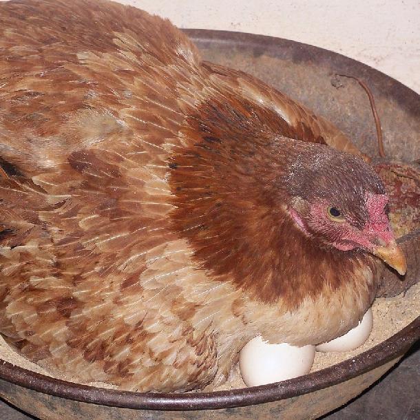 Hướng dẫn cách để gà ta bỏ ấp sau khi đẻ