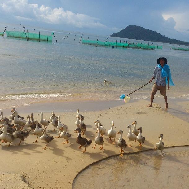 Kỹ thuật chăn nuôi vịt biển