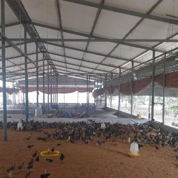 Mô hình chăn nuôi gà bán công nghiệp trên đệm lót sinh