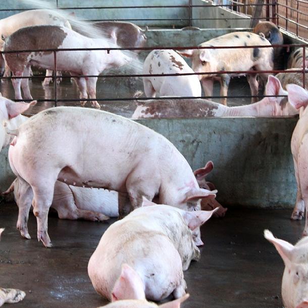 Kỹ thuật nuôi lợn thịt siêu nạc cơ bản nhất đạt hiệu quả cao