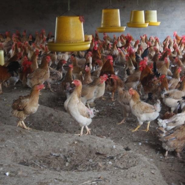 Hưỡng dẫn chăn nuôi gà ri đẻ trứng hiệu quả cao