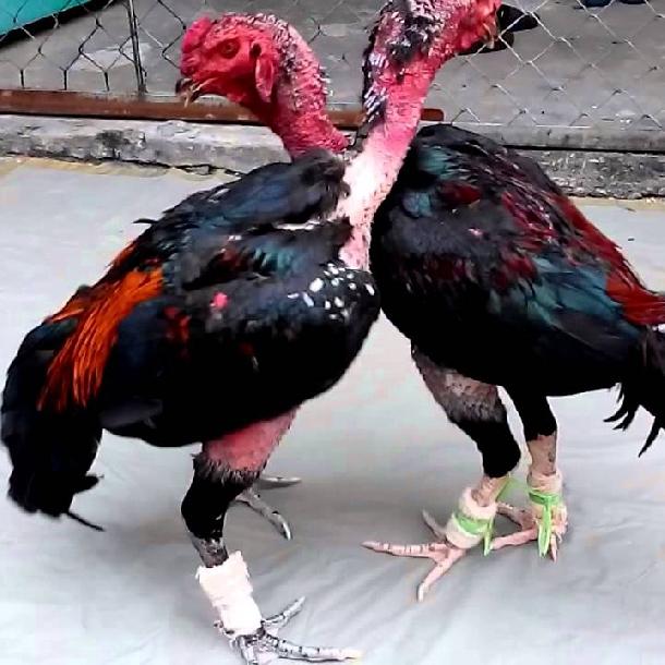 Kỹ thuật nuôi  và cách huấn luyện gà chọi cơ bản