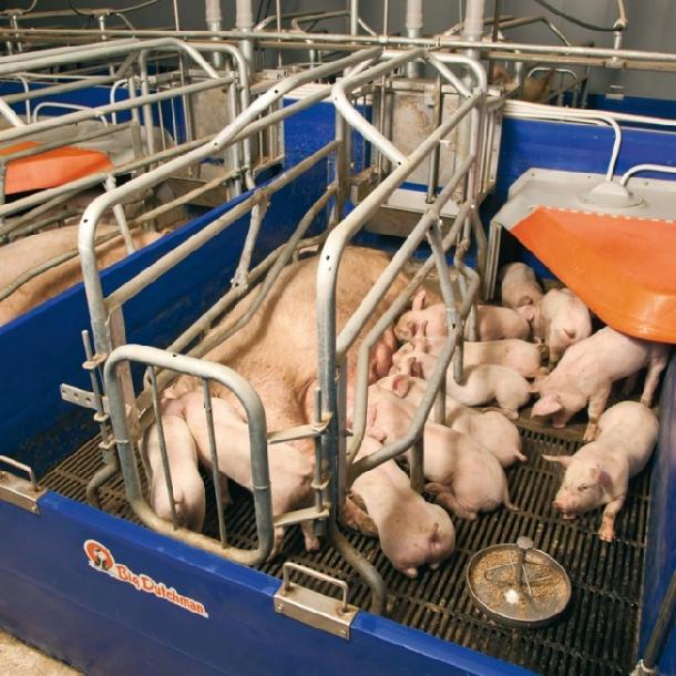 Phương pháp được áp dụng để tăng chất lượng heo nái mát sữa