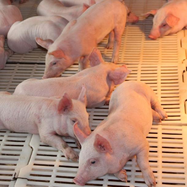 Kỹ thuật chăm sóc lợn con giai đoạn cai sữa đúng cách nhất