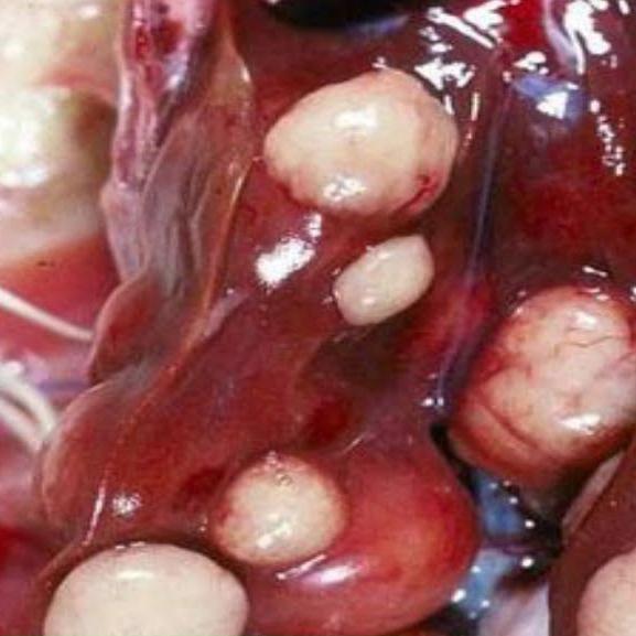 Biểu hiện và phương pháp phòng và điều trị bệnh Marek ở gà