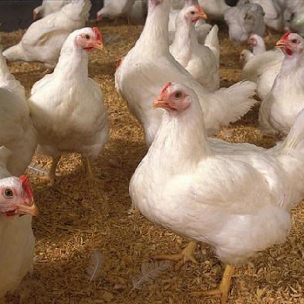Dinh dưỡng Protein cho gà thịt công nghiệp