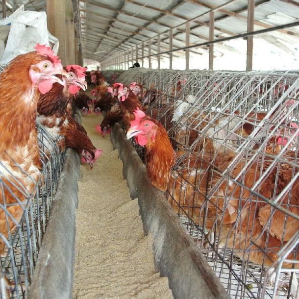 4 cách để nâng cao sức bền cho bộ xương của gà đẻ
