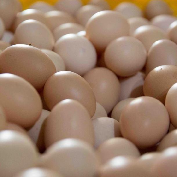 Các giống gà hướng trứng