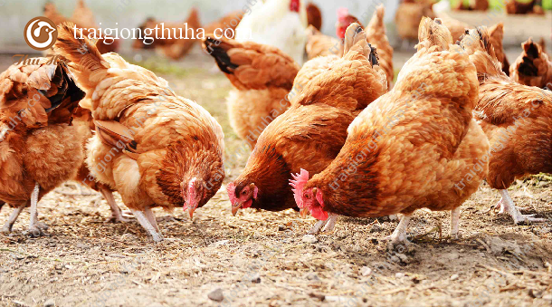 Hạch toán kinh tế trại chăn nuôi gà đẻ 10.000 con